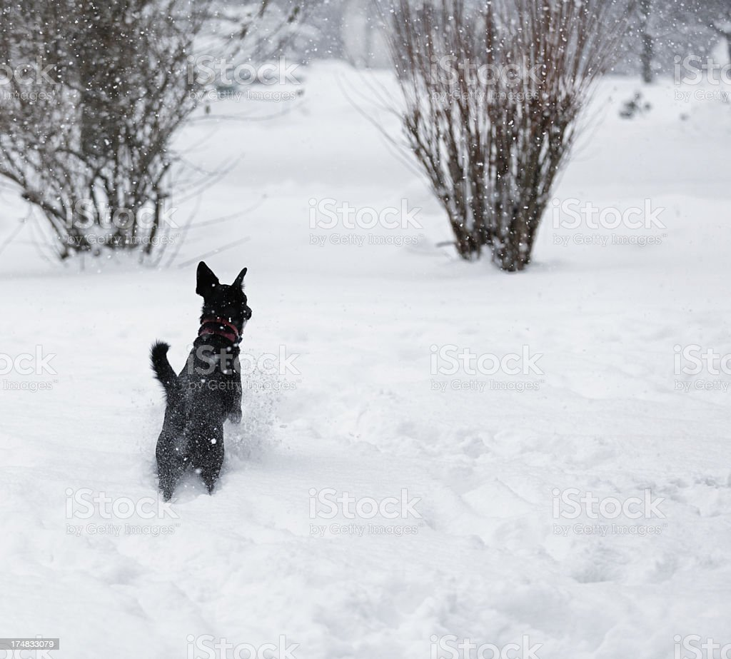 Dog Stopping in Deep Blizzard Snow stock photo