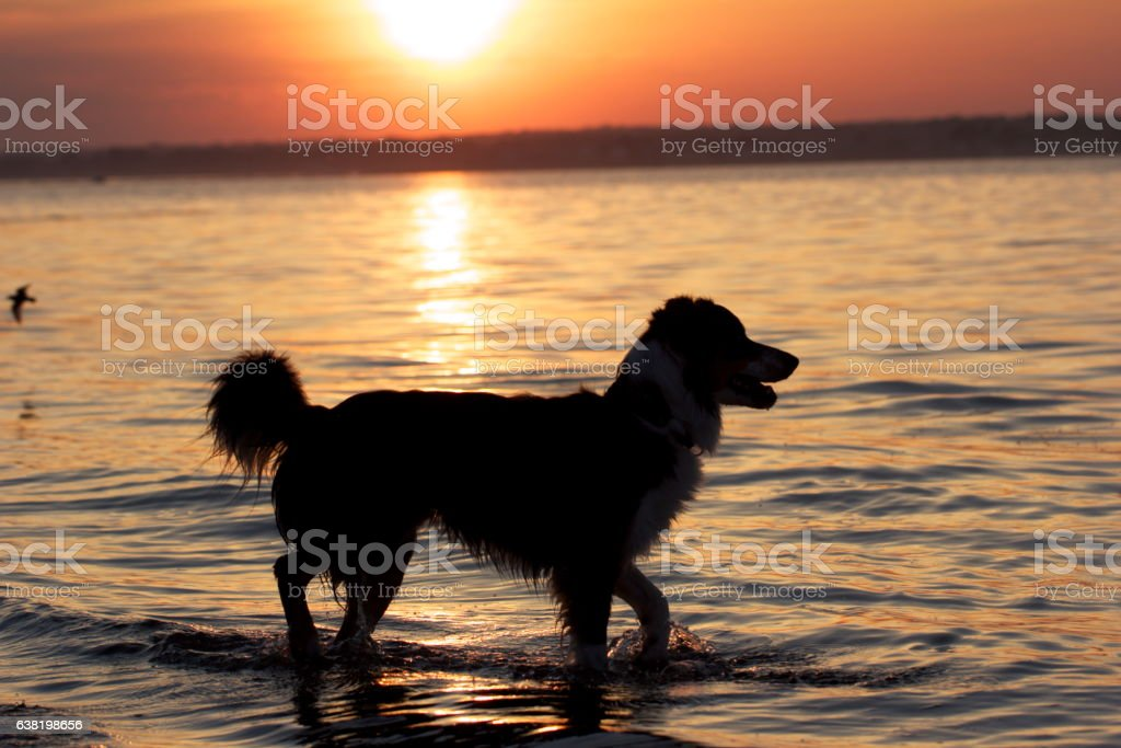 Dog Sunset stock photo