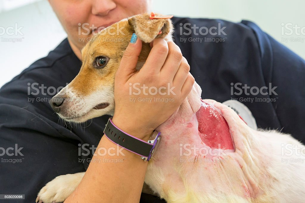 Dog surgery preparation injury stock photo