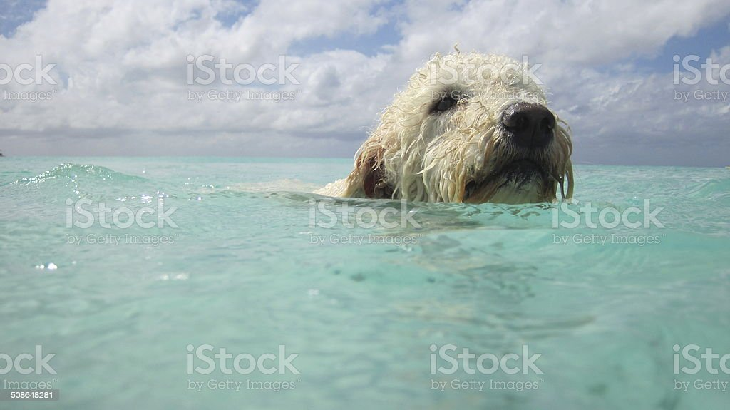 dog swiming stock photo