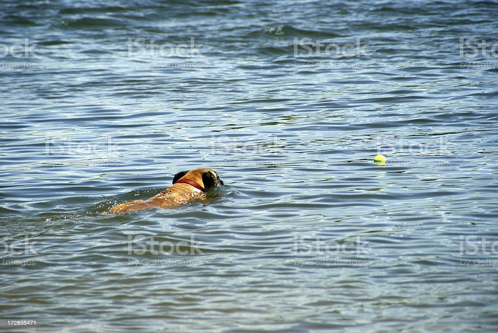Dog Swimming and Fetching Tennis Ball royalty-free stock photo