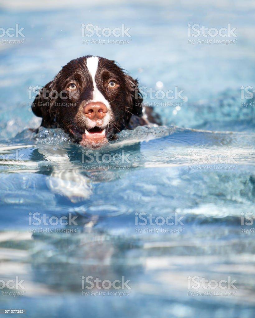Dog Swimming in Pool stock photo