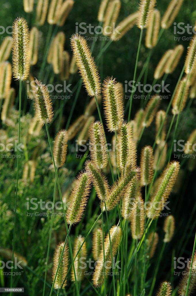 Dog tail grass royalty-free stock photo