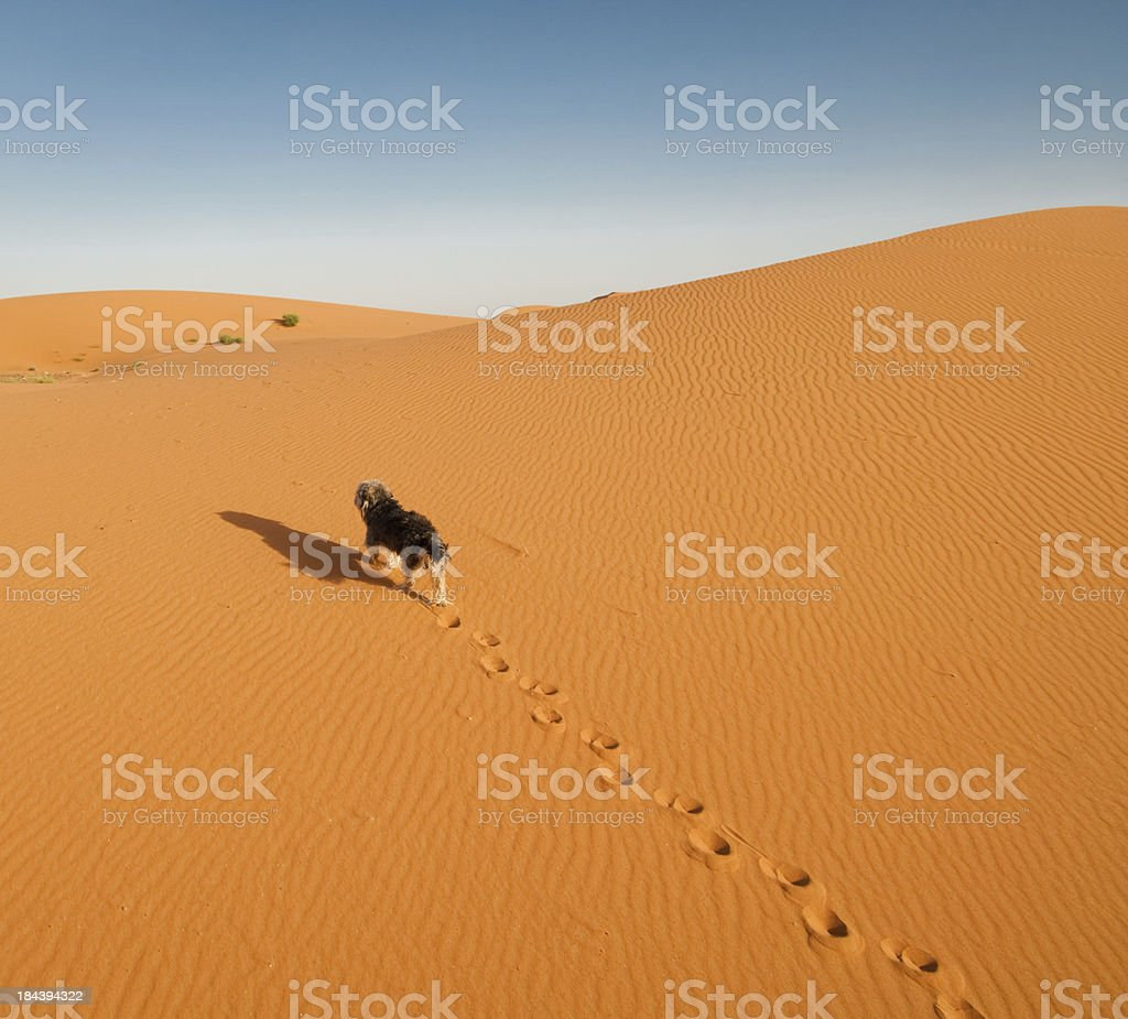 Dog takes lonely walk up sand dune in desert royalty-free stock photo