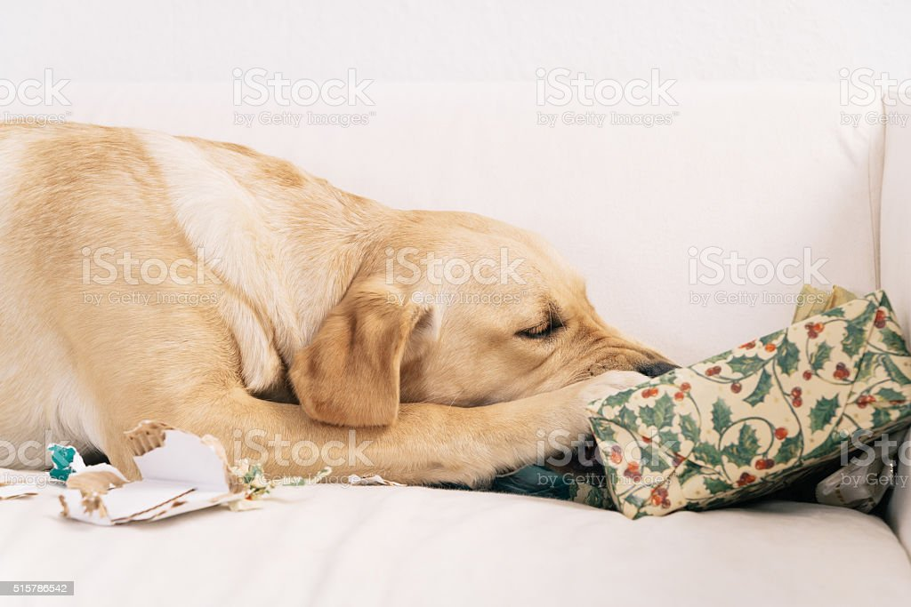 Dog tearing up Christmas present stock photo