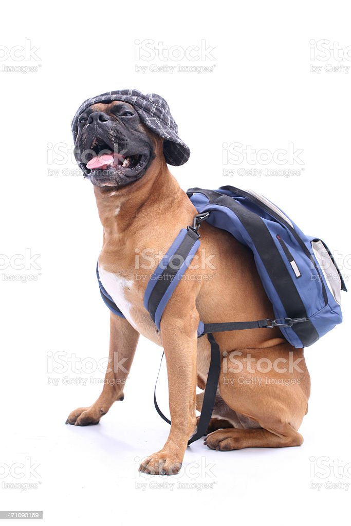 A dog that is ready to go to school stock photo