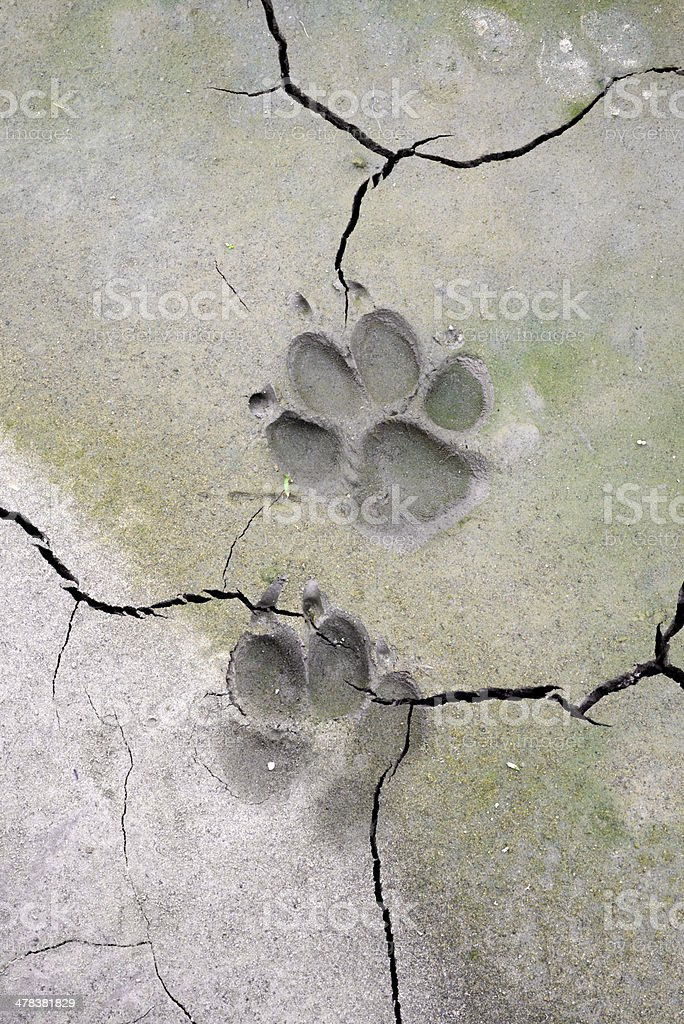 dog  tracks in cracked mud royalty-free stock photo