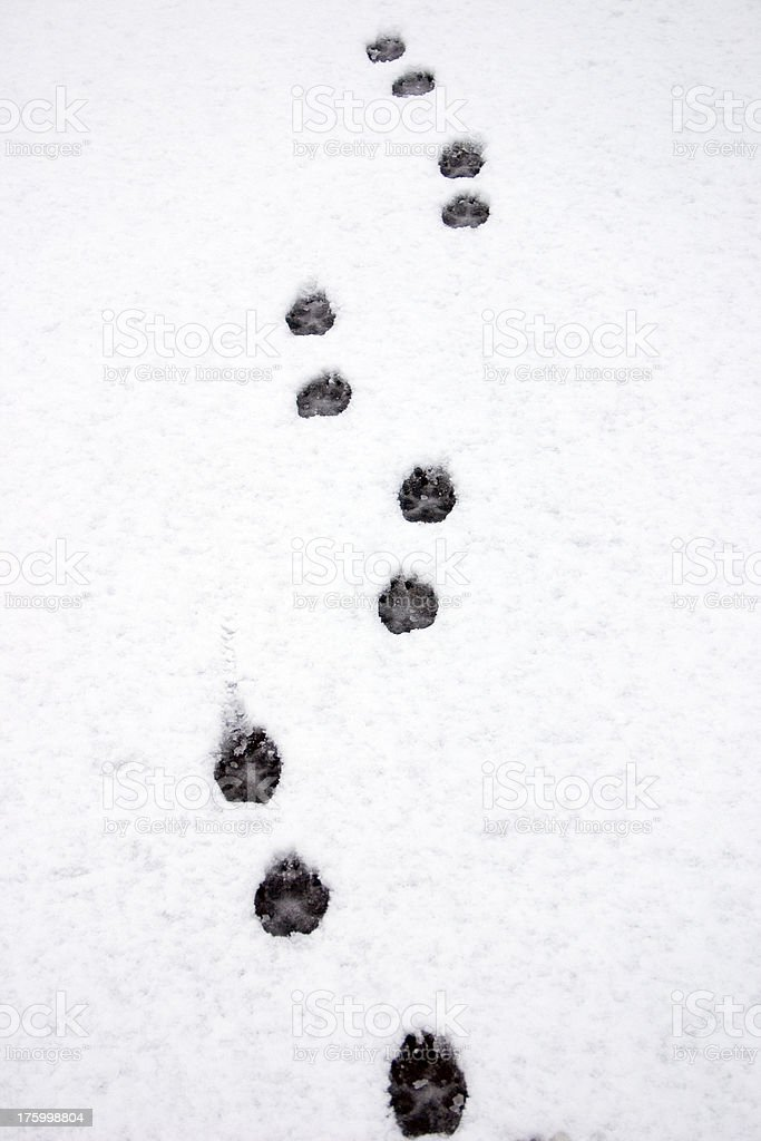 Dog Tracks in the snow royalty-free stock photo