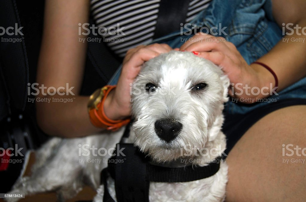 Dog travelling in a car stock photo