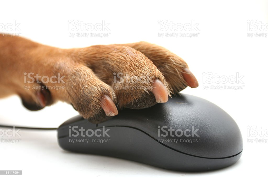 A dog trying to use a computer mouse stock photo