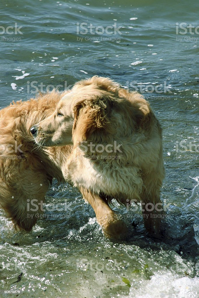 Dog turning around on beach royalty-free stock photo