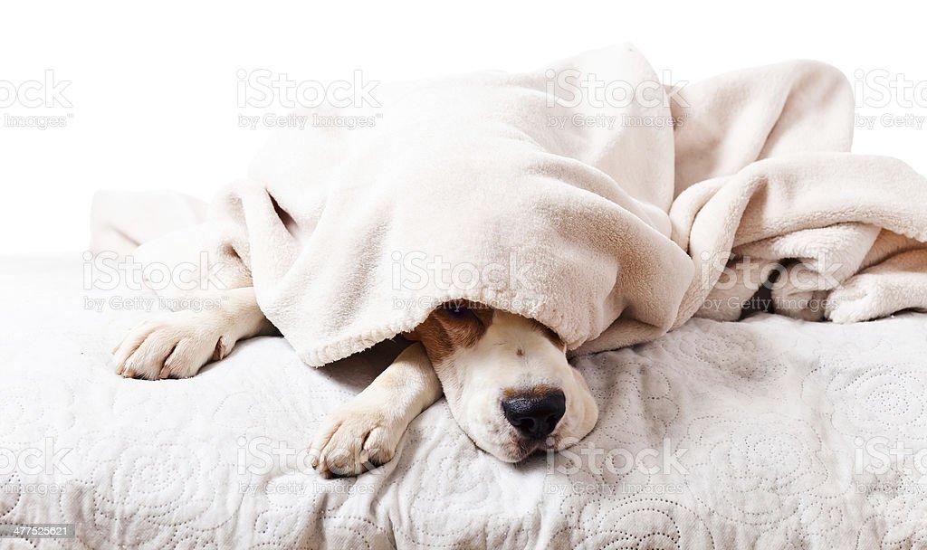 dog under a blanket on white stock photo