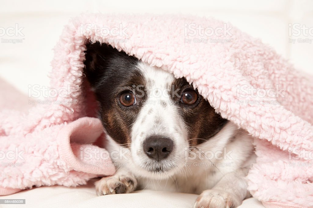 Dog Under Blanket stock photo