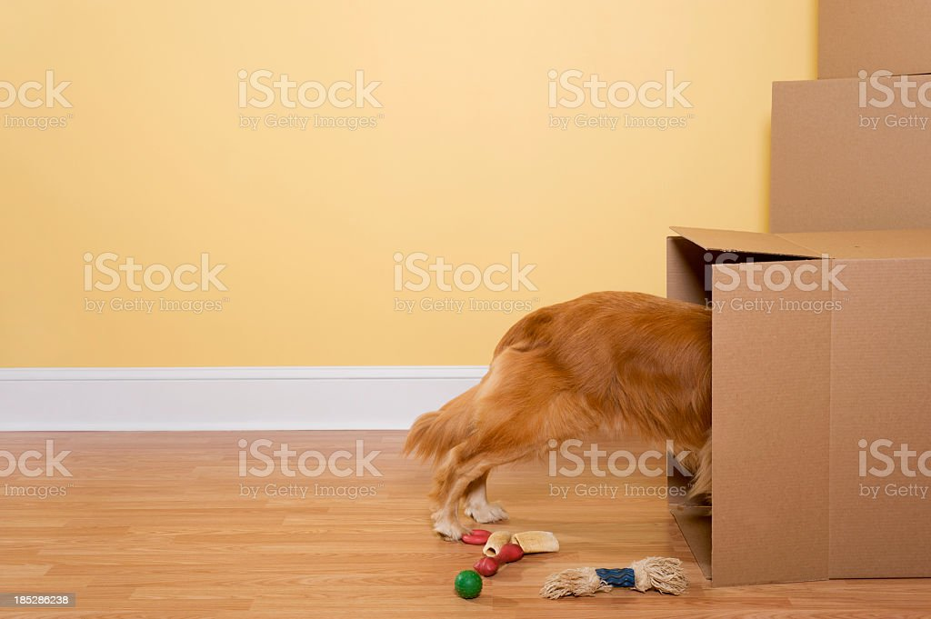 Dog Unpacking toys and bones from moving boxes in home stock photo