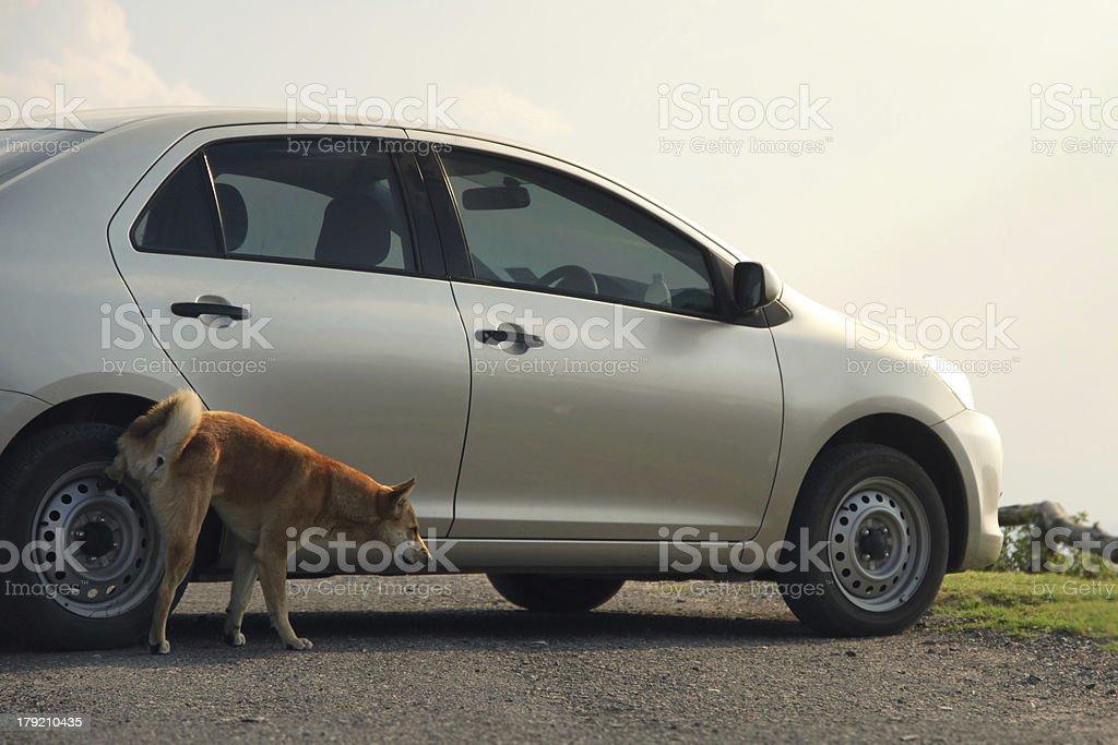 dog urinating on car royalty-free stock photo