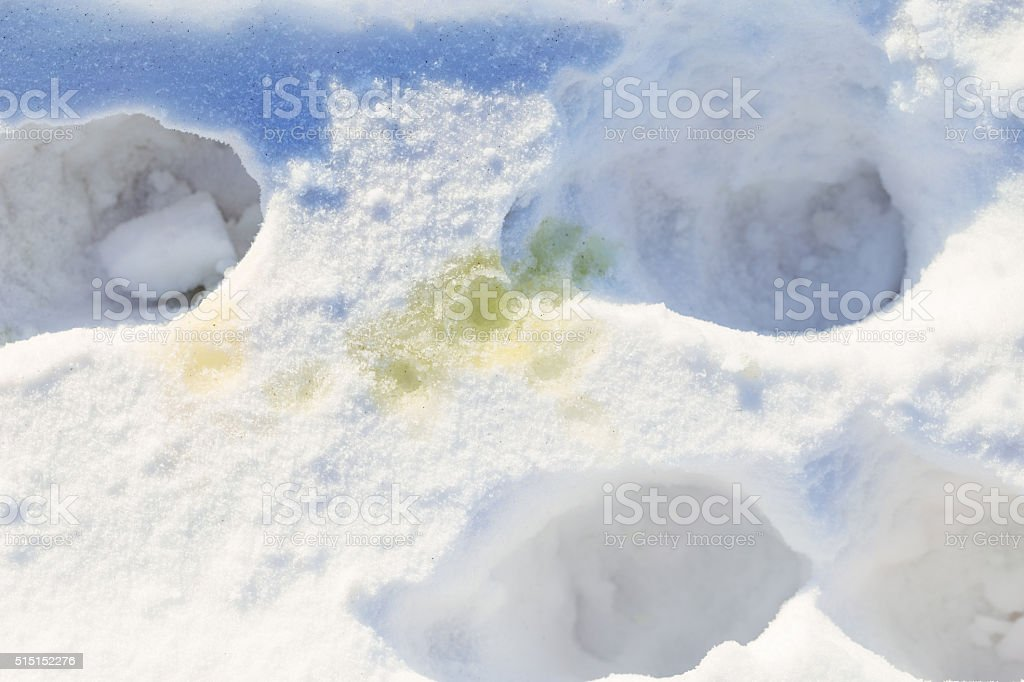 Dog Urine and Tracks in Snow stock photo