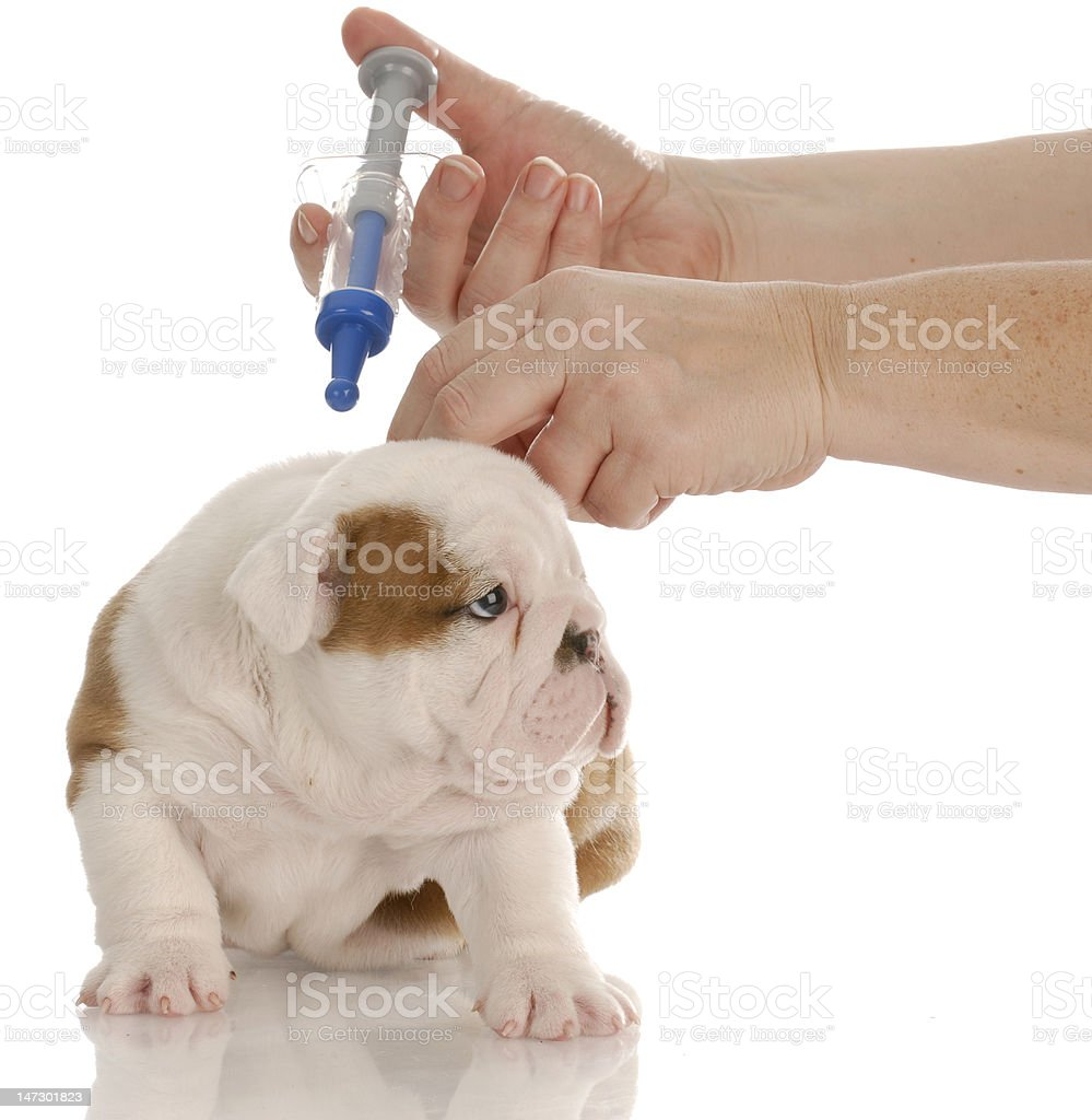 dog vaccination royalty-free stock photo