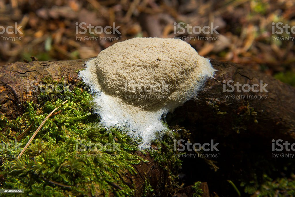 Dog vomit slime mold fruiting body, Sunapee, New Hampshire. stock photo
