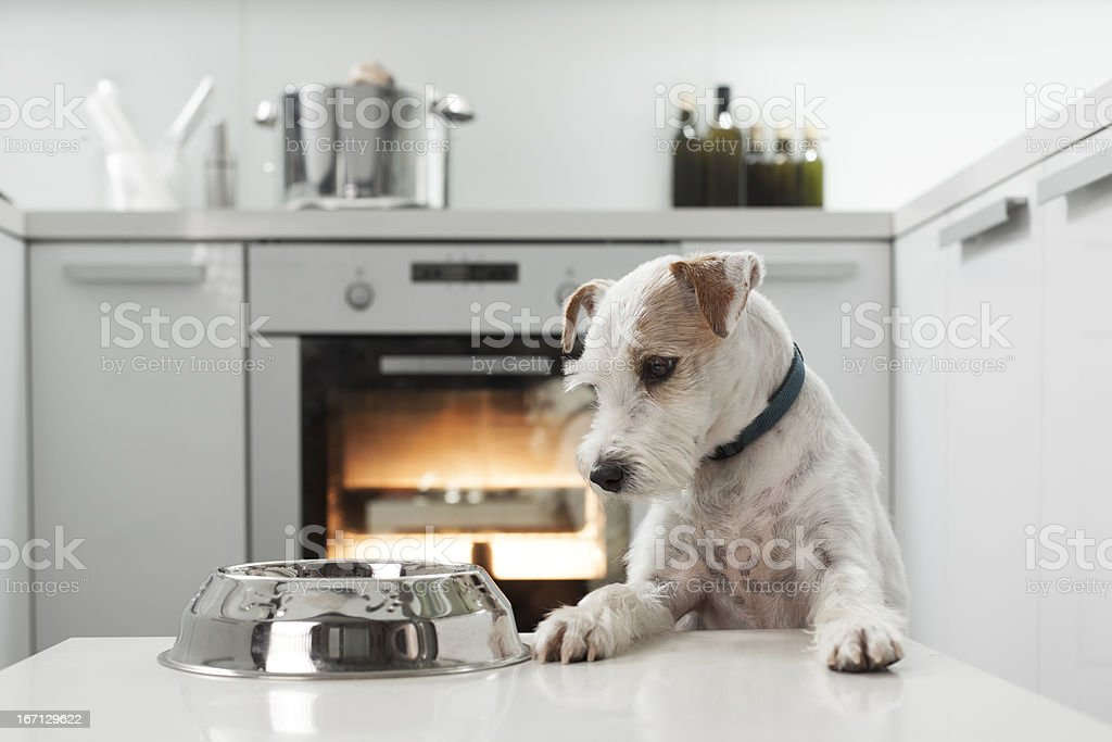 Dog waiting for a healthy meal royalty-free stock photo