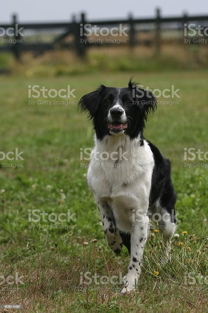 Dog waiting for the ball royalty-free stock photo