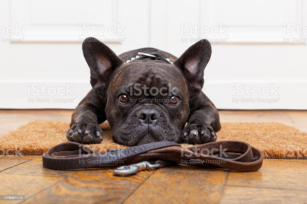 dog waiting for walk stock photo