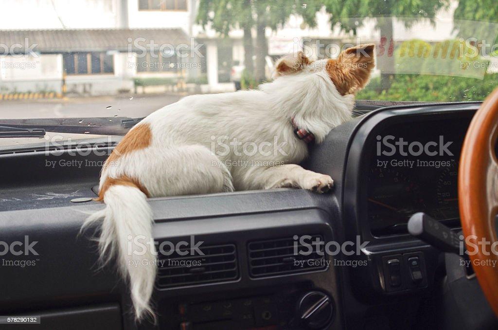 dog waiting in car stock photo