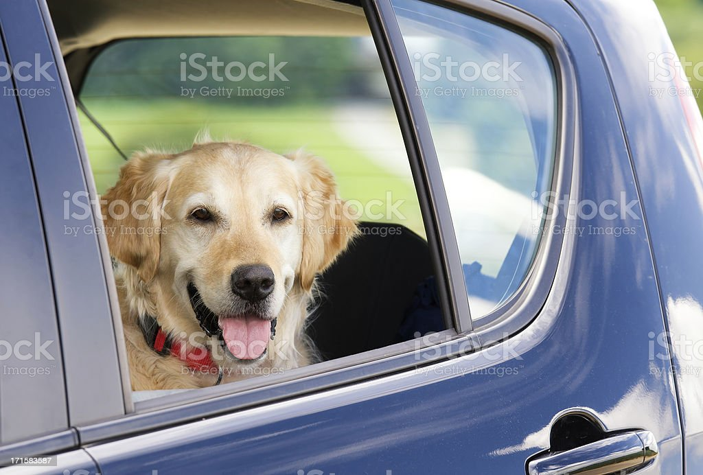 Dog waiting inside a car royalty-free stock photo