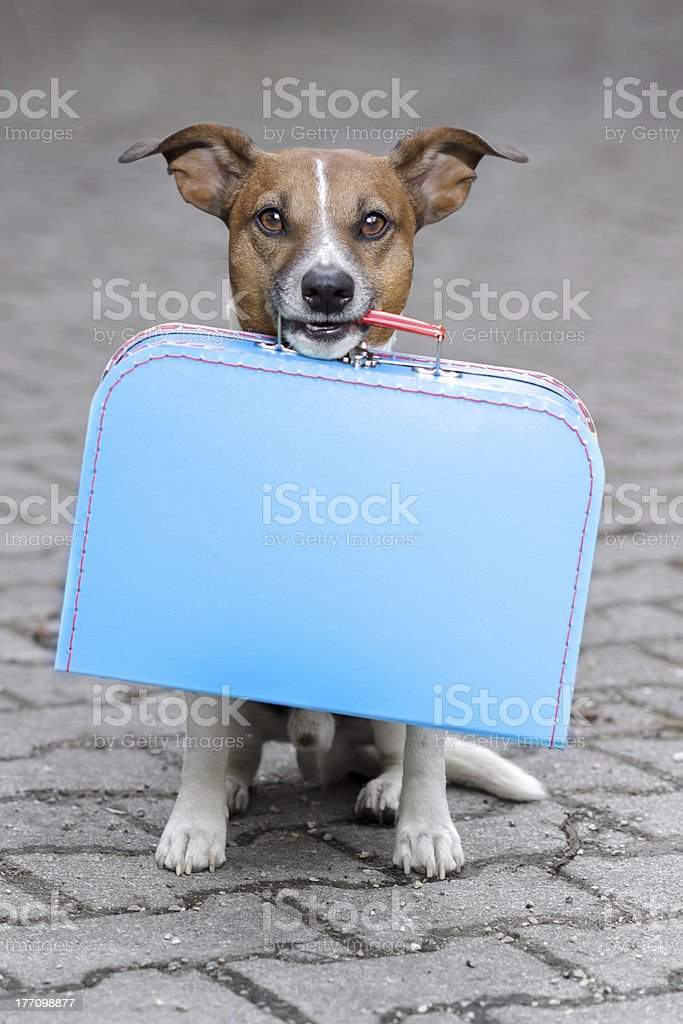 dog waiting with a  blue bag stock photo