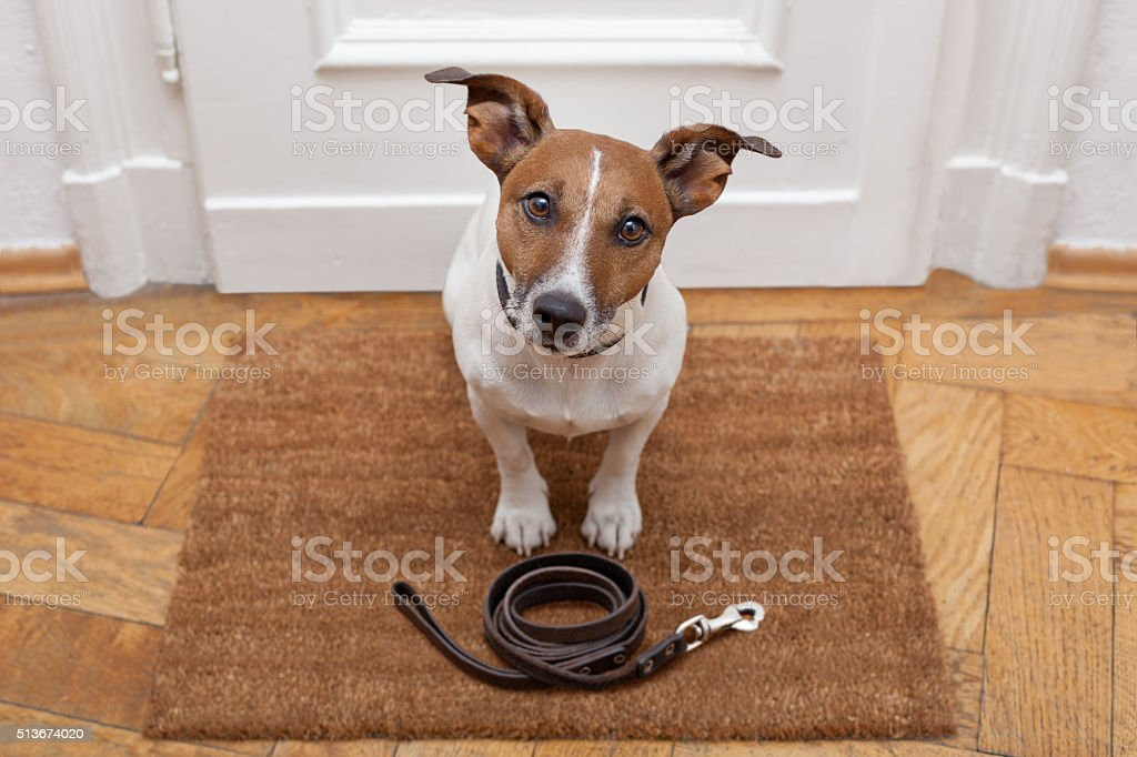 dog waits for walking with leash stock photo