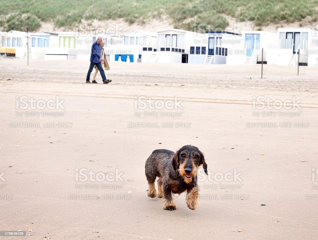 Dog walk on the beach stock photo
