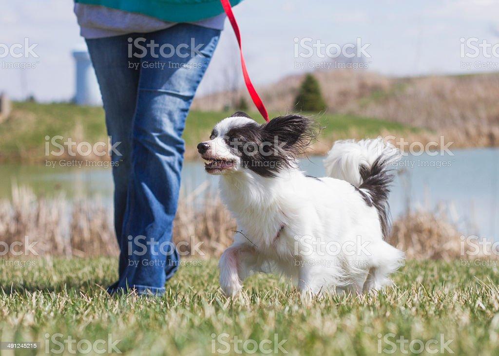 Dog Walk Pet stock photo