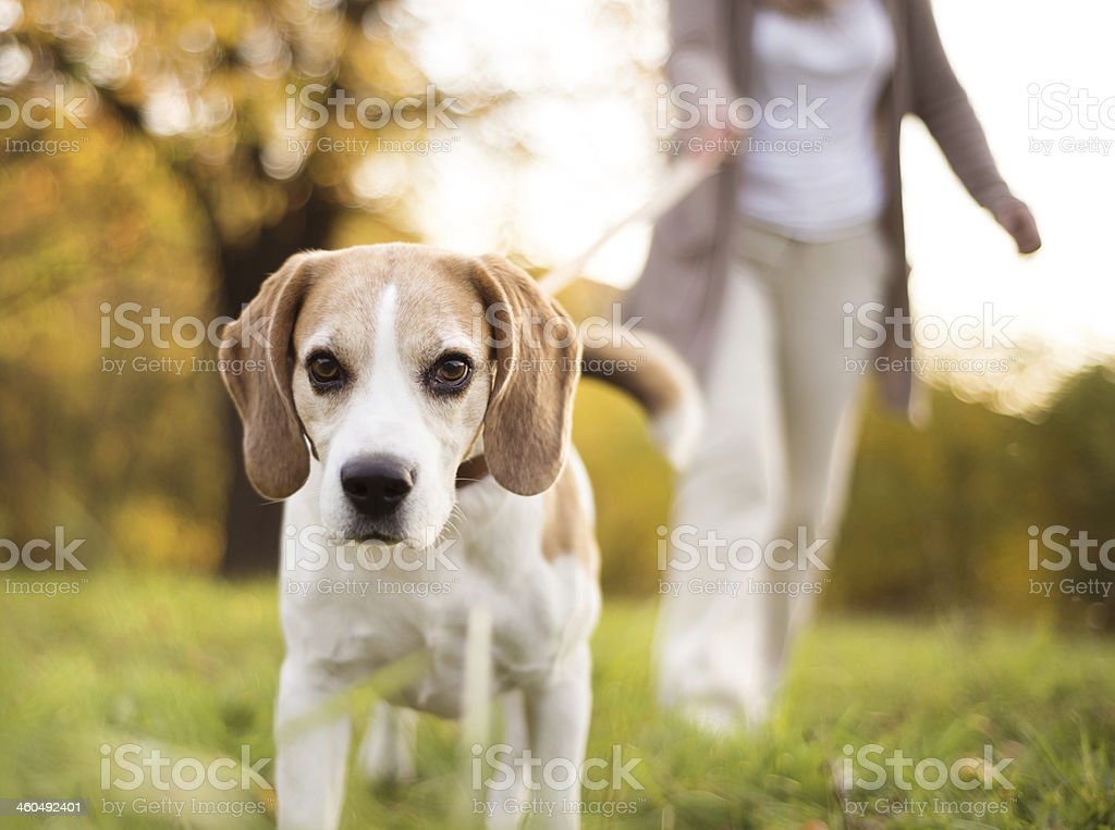 Dog walk stock photo