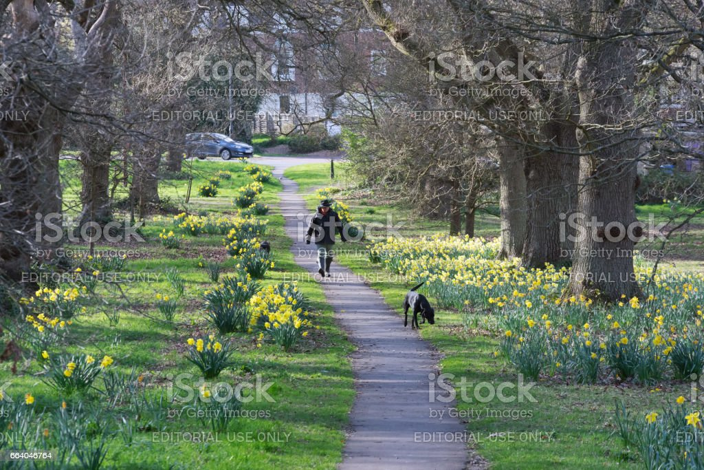 Dog walker in Hartley Wintney Common in Spring stock photo