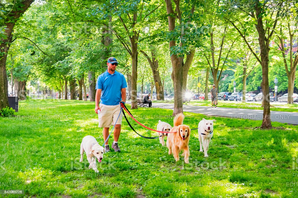 Dog Walker Walks Dogs at Back Bay Area Boston Massachusetts stock photo