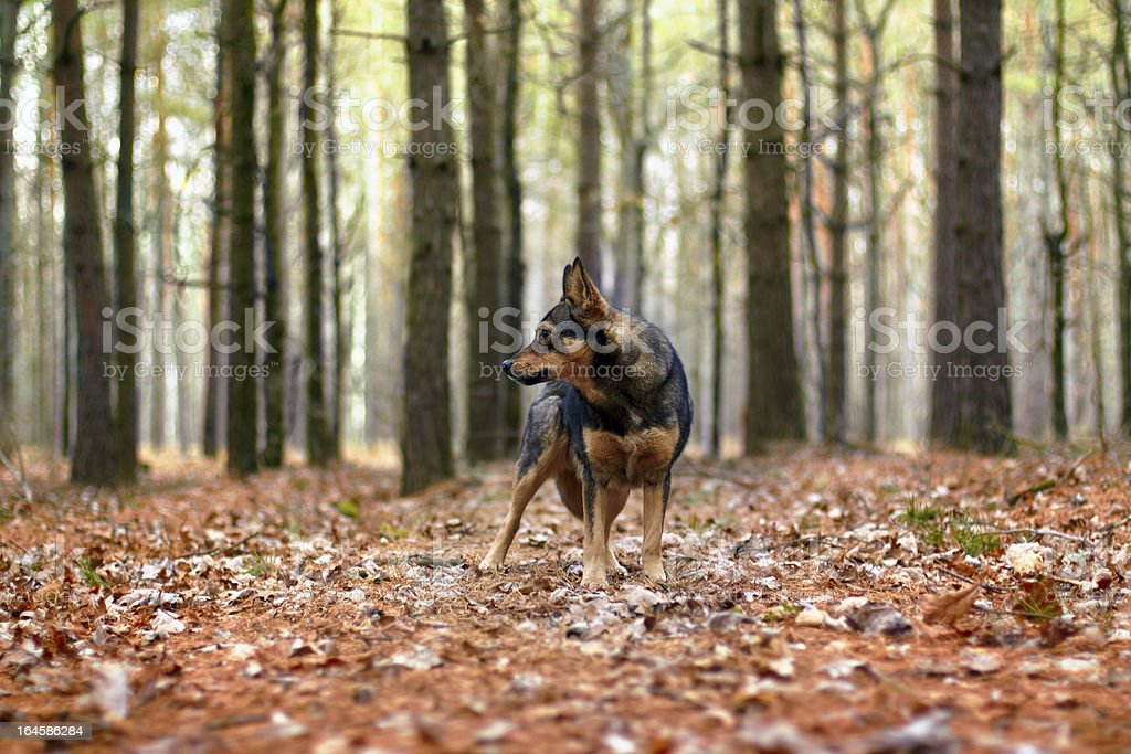 Dog walking in the autumn forest royalty-free stock photo