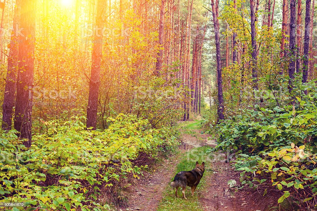 Dog walking in the forest at sunset stock photo