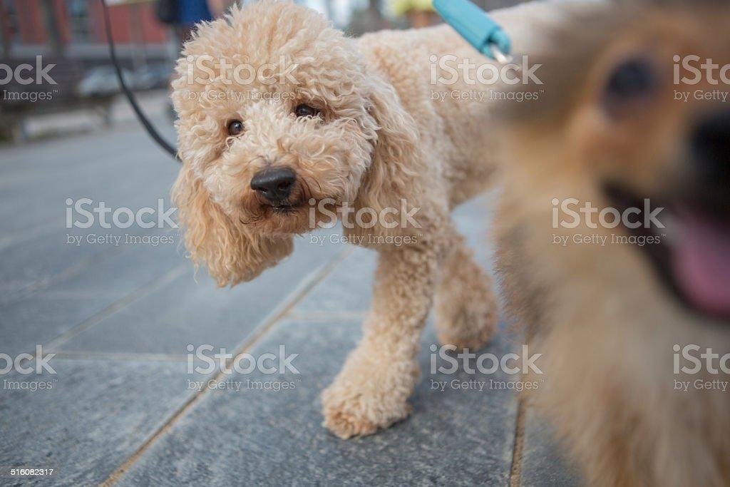Dog walking on the street stock photo