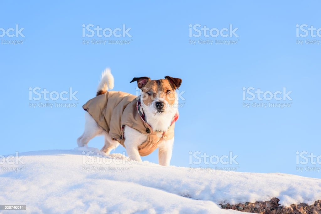 Dog walking on top of rock covered with snow stock photo