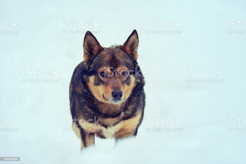 Dog walking outdoors in deep snow stock photo