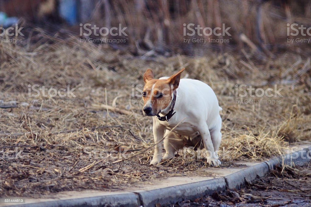 dog walks in the street pooping stock photo