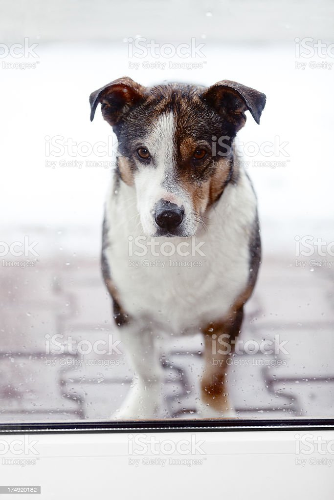 Dog Wanting To Come In royalty-free stock photo