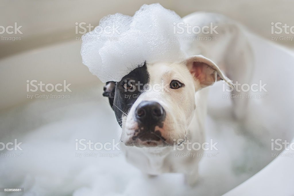 Dog wash, puppy gets a bath stock photo