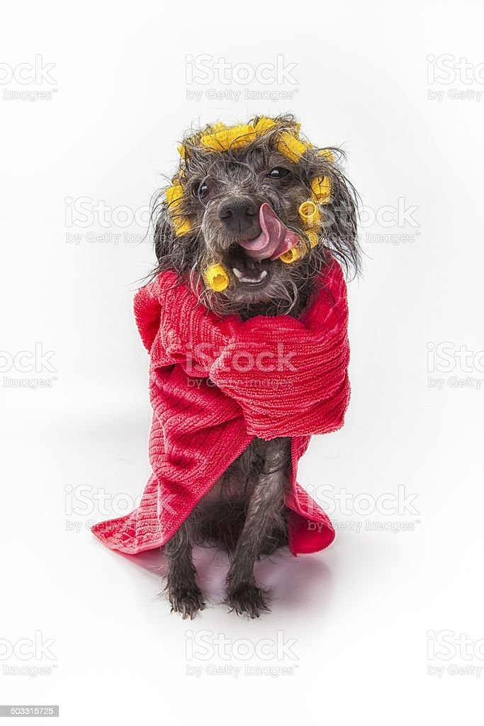 Dog Wash Spa Day royalty-free stock photo