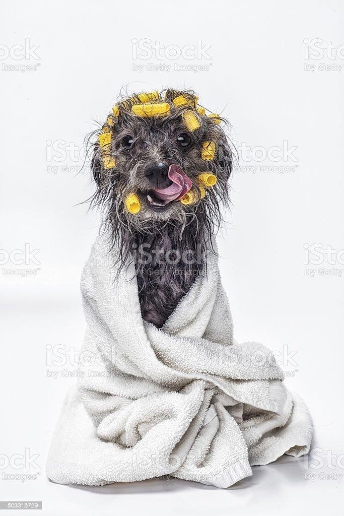 Dog Wash Spa Day royalty-free stock photo