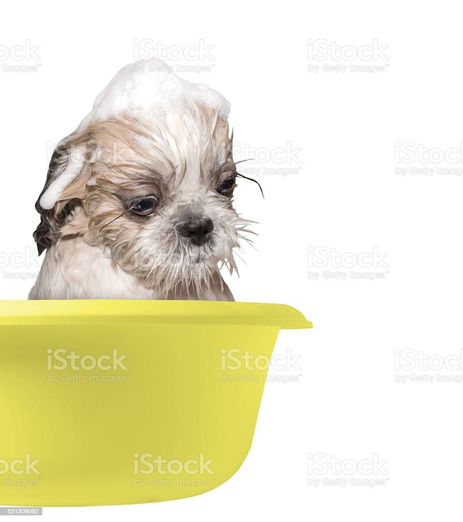 dog washing in a basin stock photo