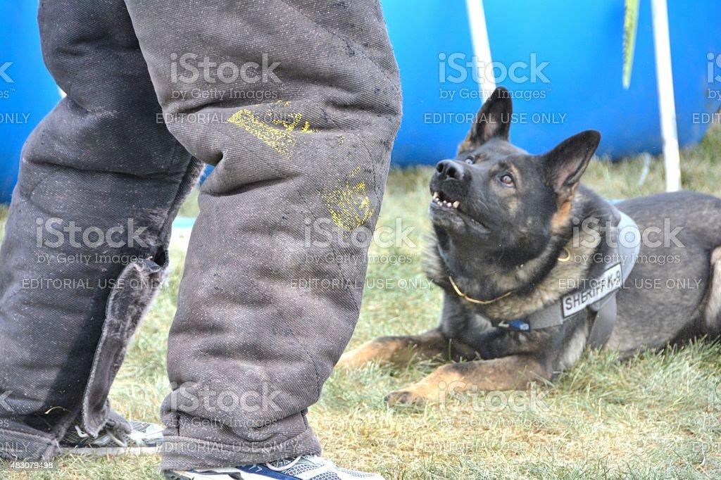 K-9 Dog watching Bad Guy stock photo