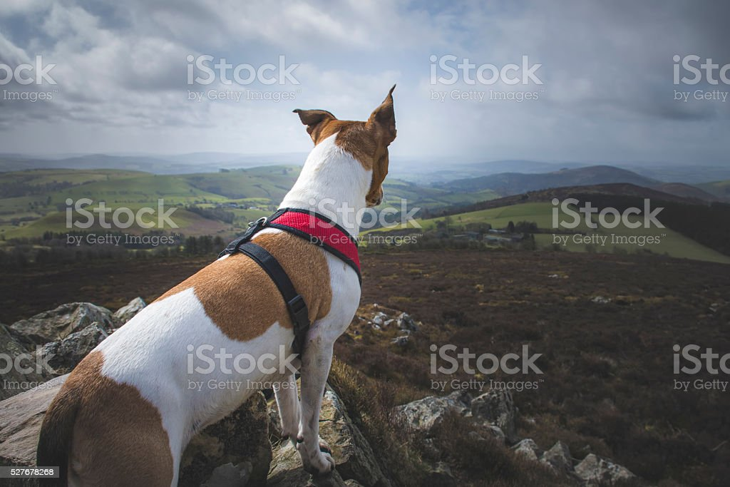 dog watching over the valley stock photo