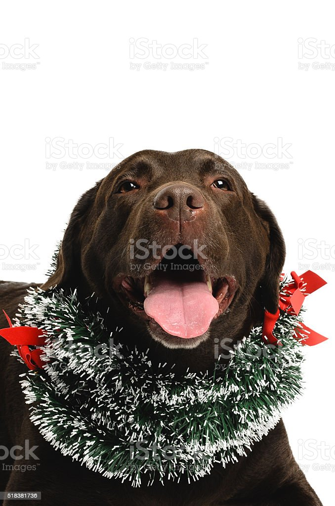 Dog wearing a christmas reef stock photo
