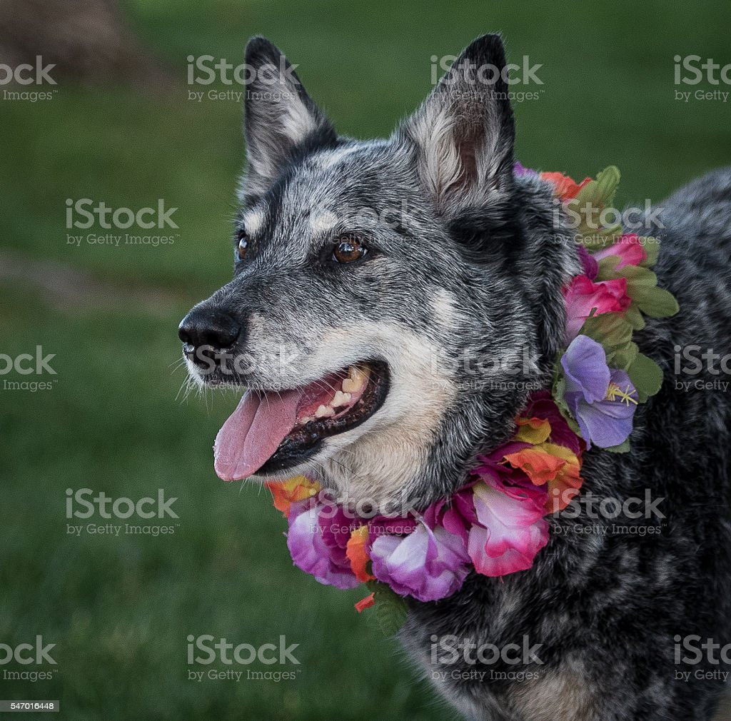 Dog wearing a lei standing in a park stock photo