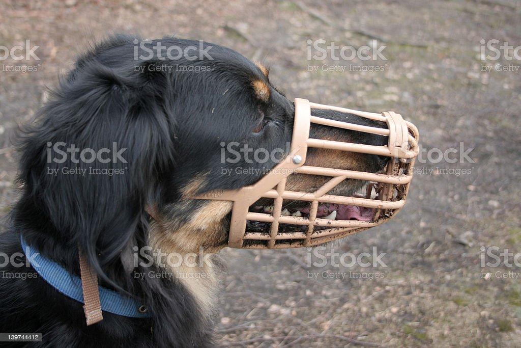 Dog wearing a muzzle stock photo